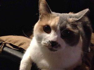 こちらは猫居酒屋赤茄子のタビちゃん