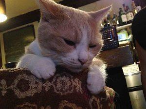 椅子の上から覗き込むのは猫居酒屋赤茄子のチーちゃん