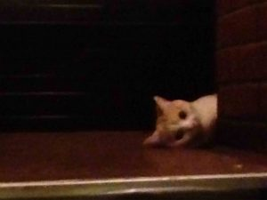 赤茄子の入口で待つ猫のチーちゃん