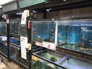 金魚たち金魚坂の水槽で泳ぐ