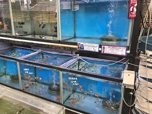 金魚坂の水槽で泳ぐ金魚たち