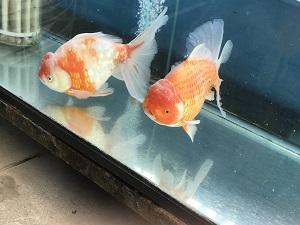 金魚坂の水槽にいたかなり大きな金魚